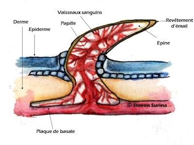Denticule Cutanée