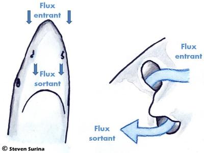 Flux nasaux