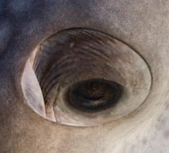 oeil-baleine