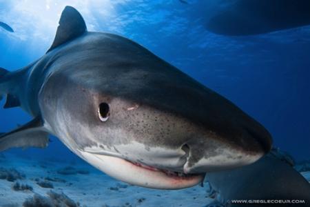 requin-tigre-tete2