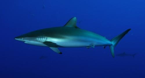 requin-soyeux-cote