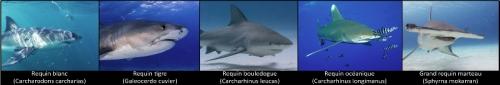 requin-potentiellement-dangereux