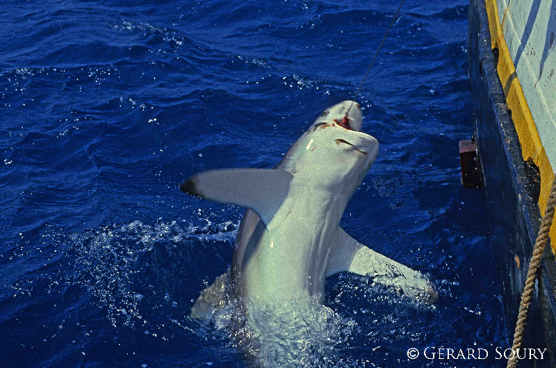 shark exploitation With increased demand and exploitation rates for some shark species and shark products, concern has steadily grown regarding the status of many shark stocks and their exploitation in global fisheries.