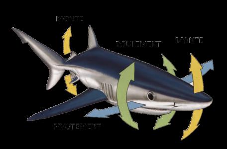 force-physique-sur-requin