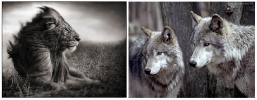 Loup et Lion