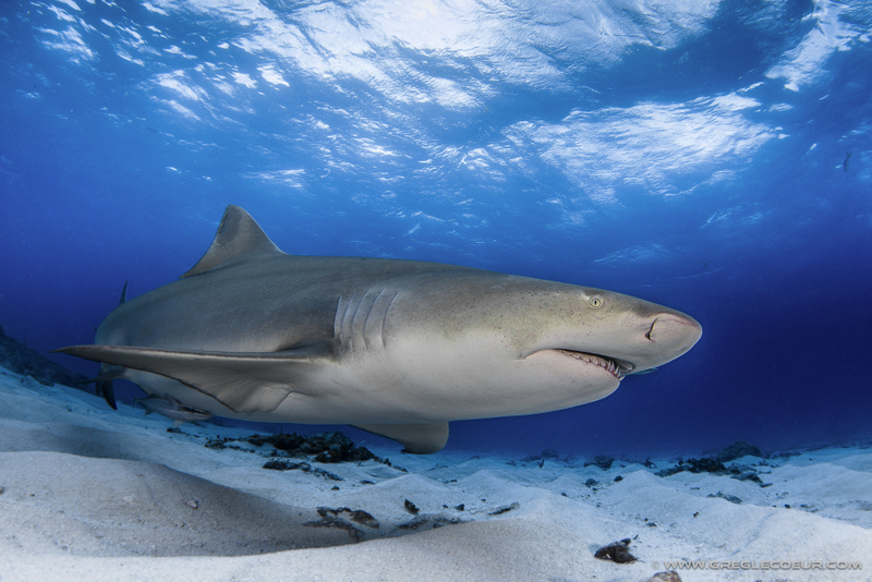 Shark - Le Requin