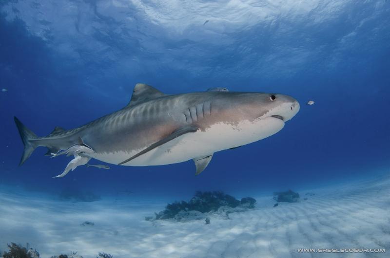 Requin tigre shark education - Photo de requin tigre a imprimer ...