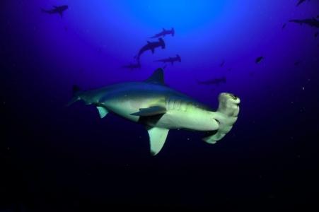 requin-marteaux-banc-2