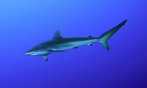 requin-soyeux1