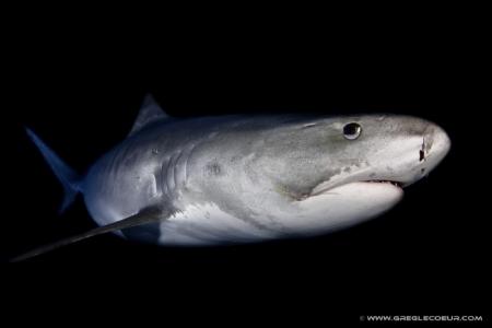 requin-tigre-nuit