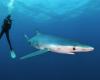 shark requin blue bleu