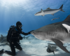 shark requin tiger contact tigre
