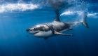 white shark requin blanc