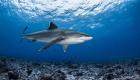 shark lemon requin citron
