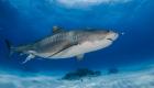 shark tiger requin tigre