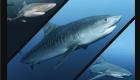 Afrique du sud tigre shark