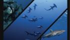 soudan hammer shark perroquet