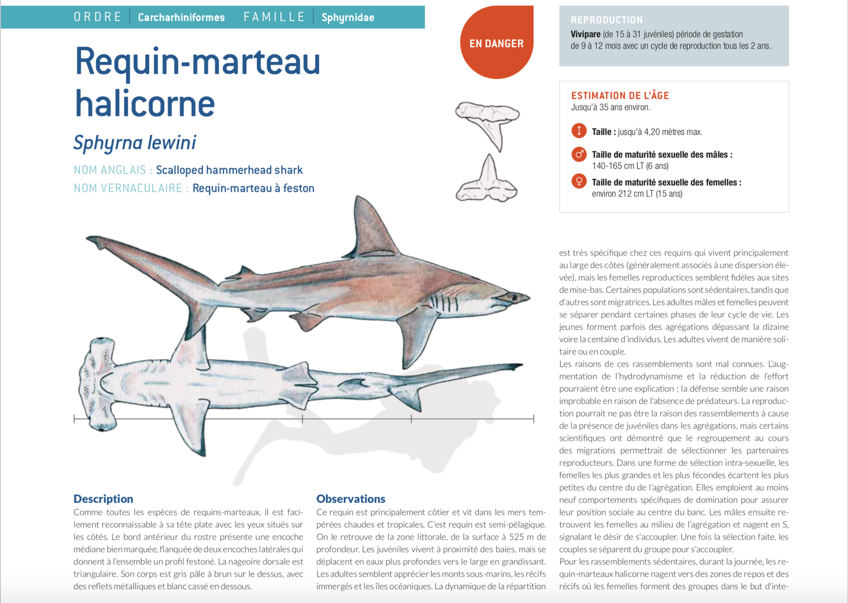 fiche requin marteau hammerhead shark