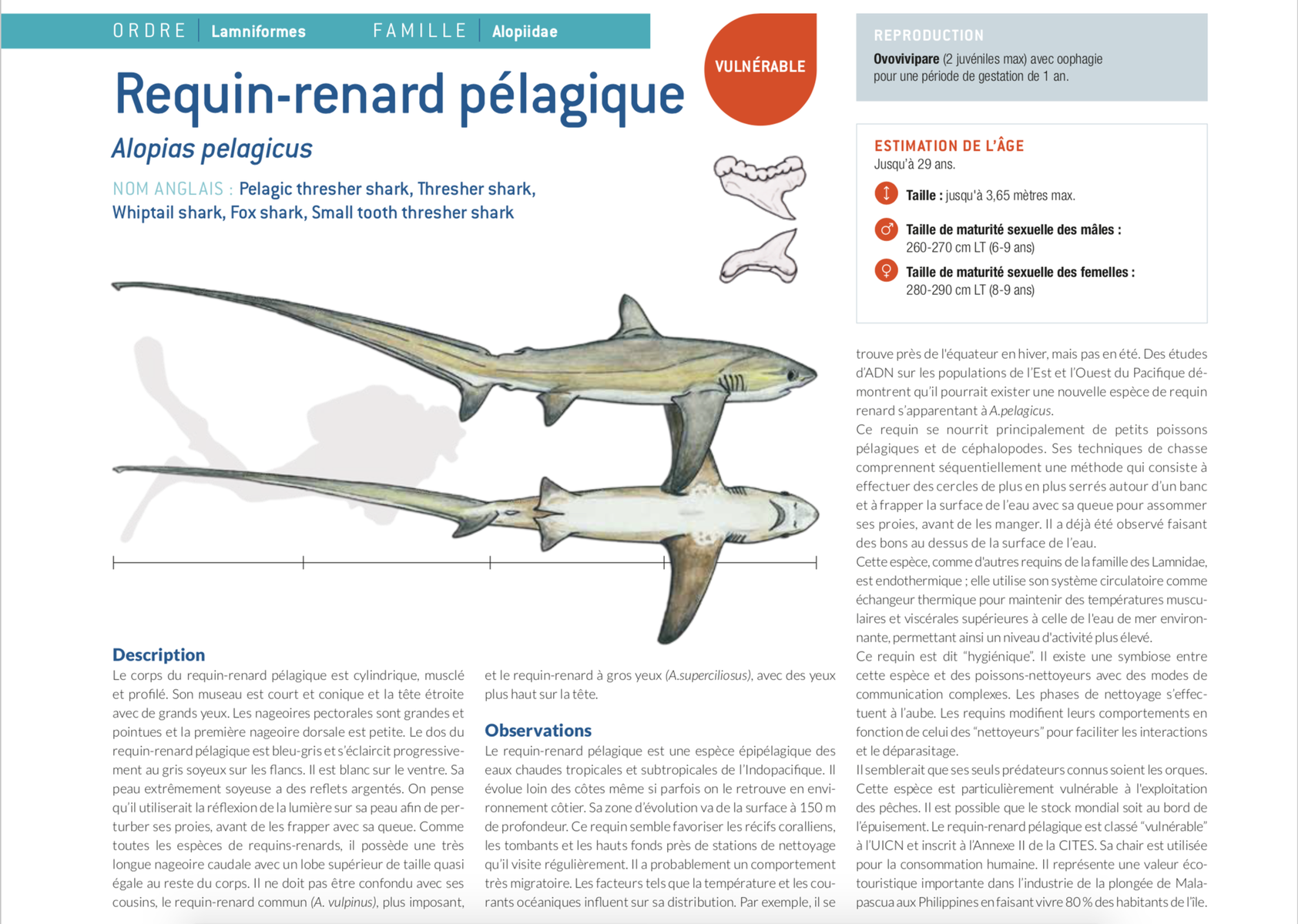 fiche requin renard fox shark