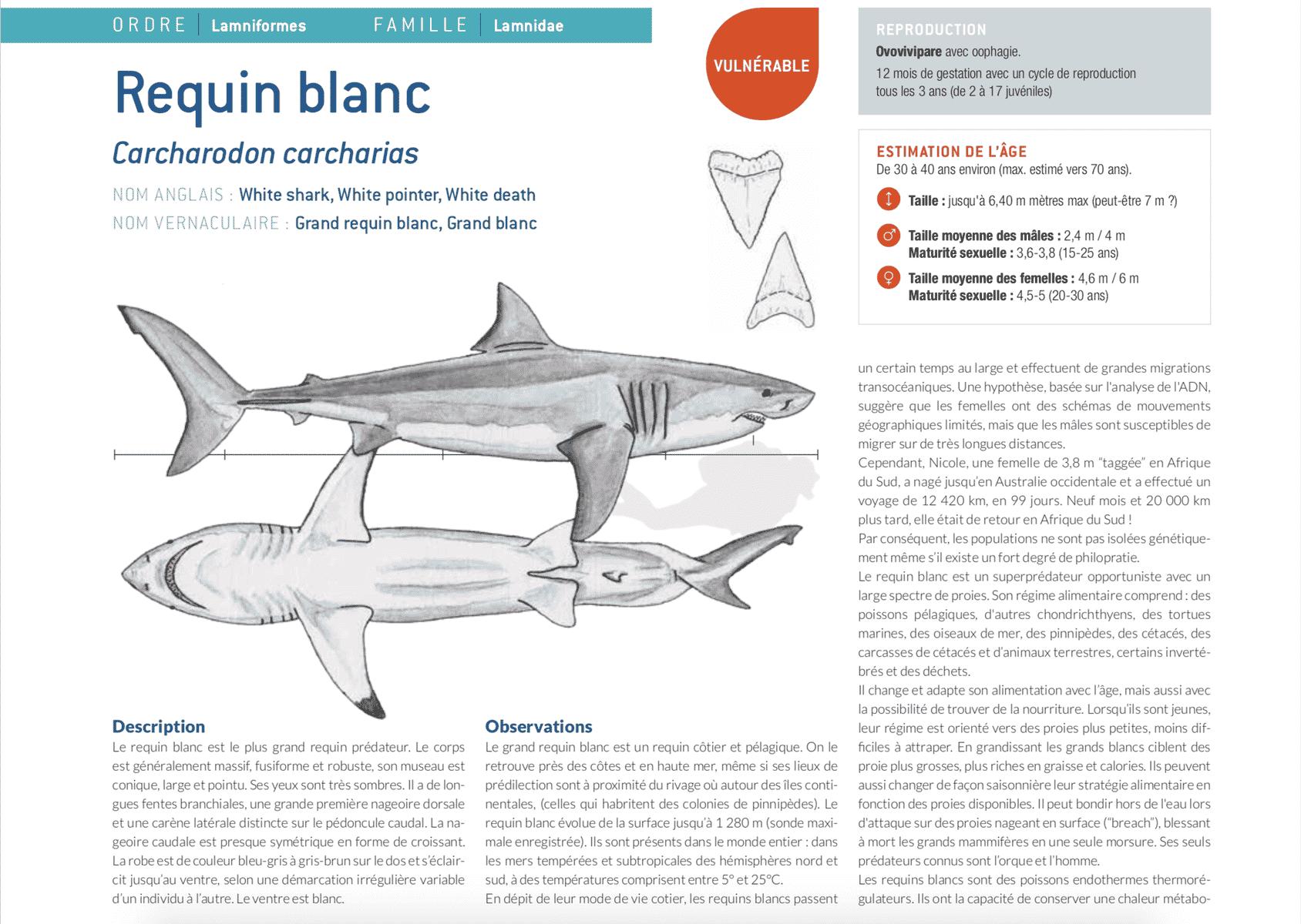 fiche requin blanc white shark