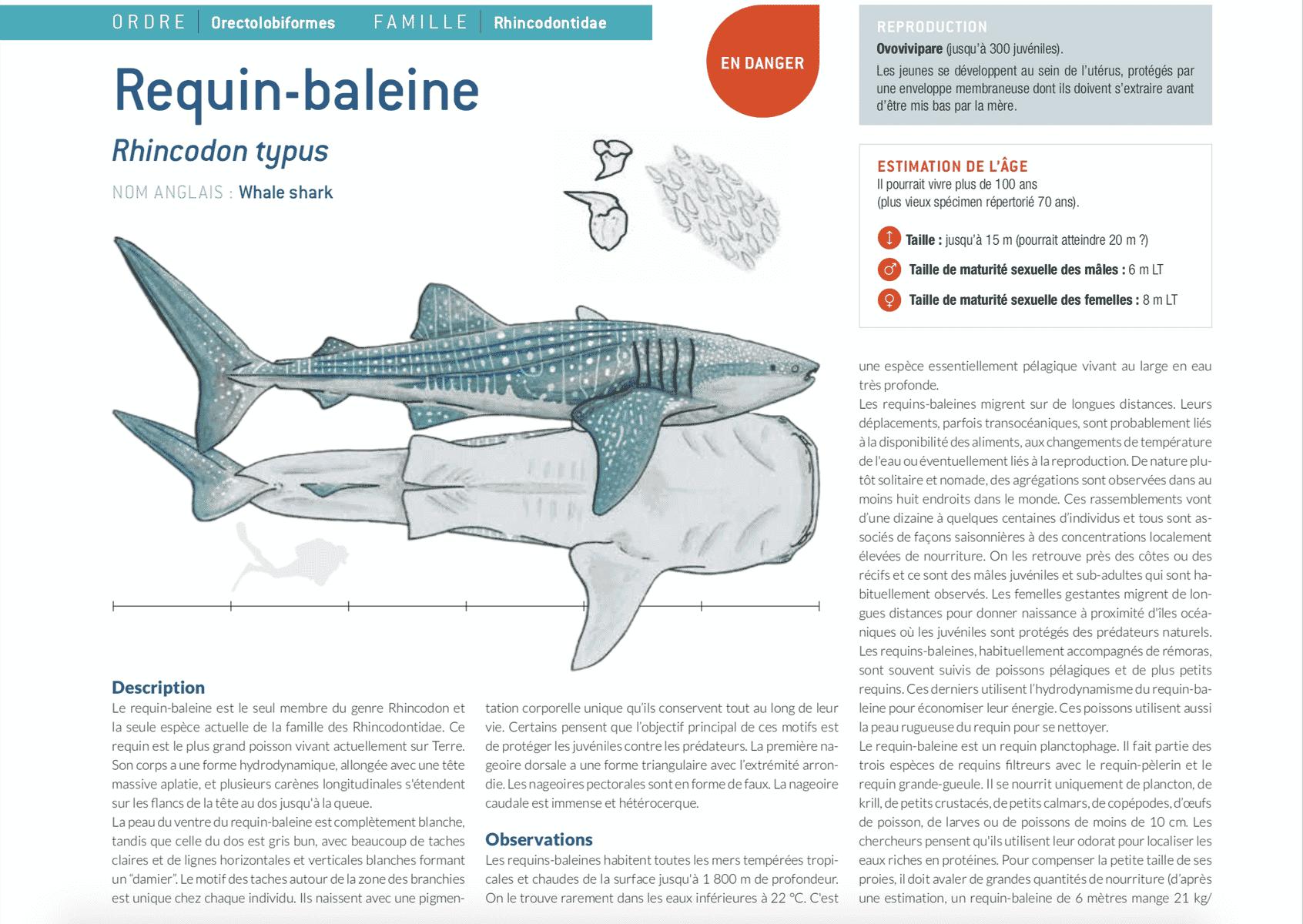 fiche requin baleine whale shark