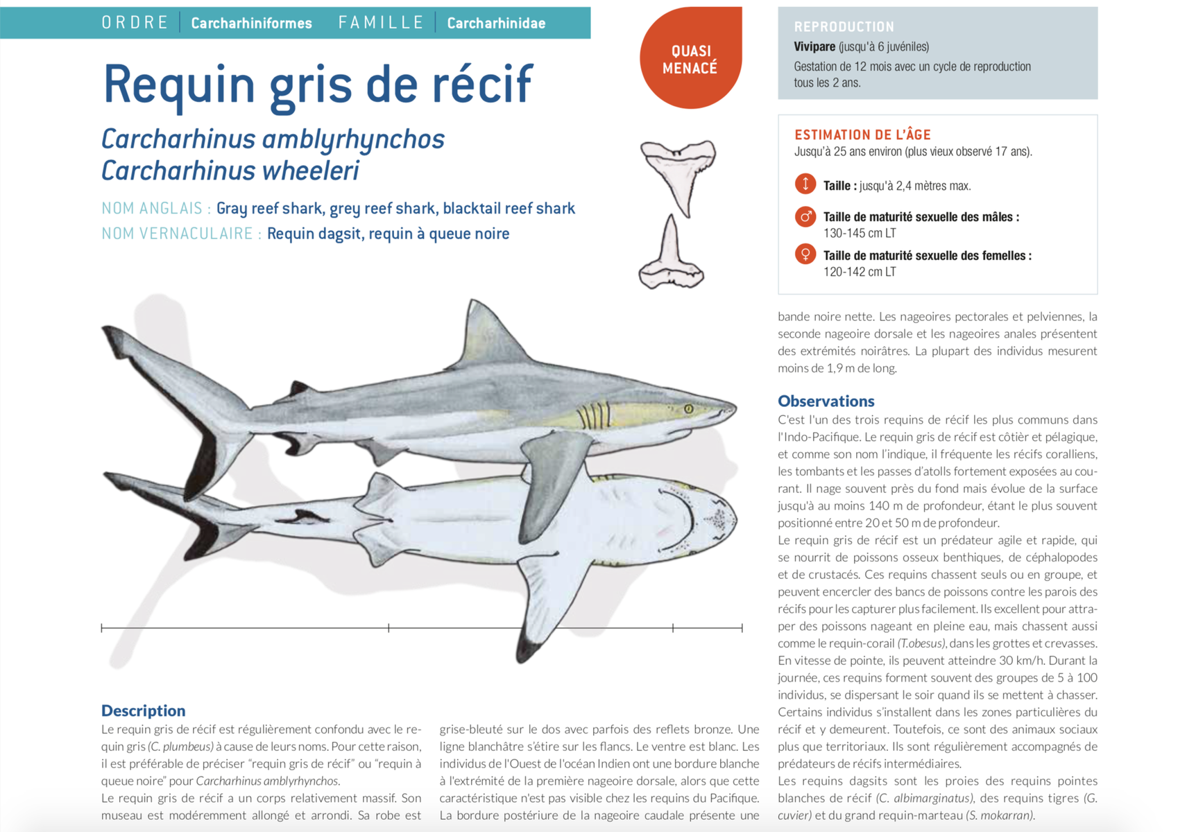 fiche requin gris grey shark