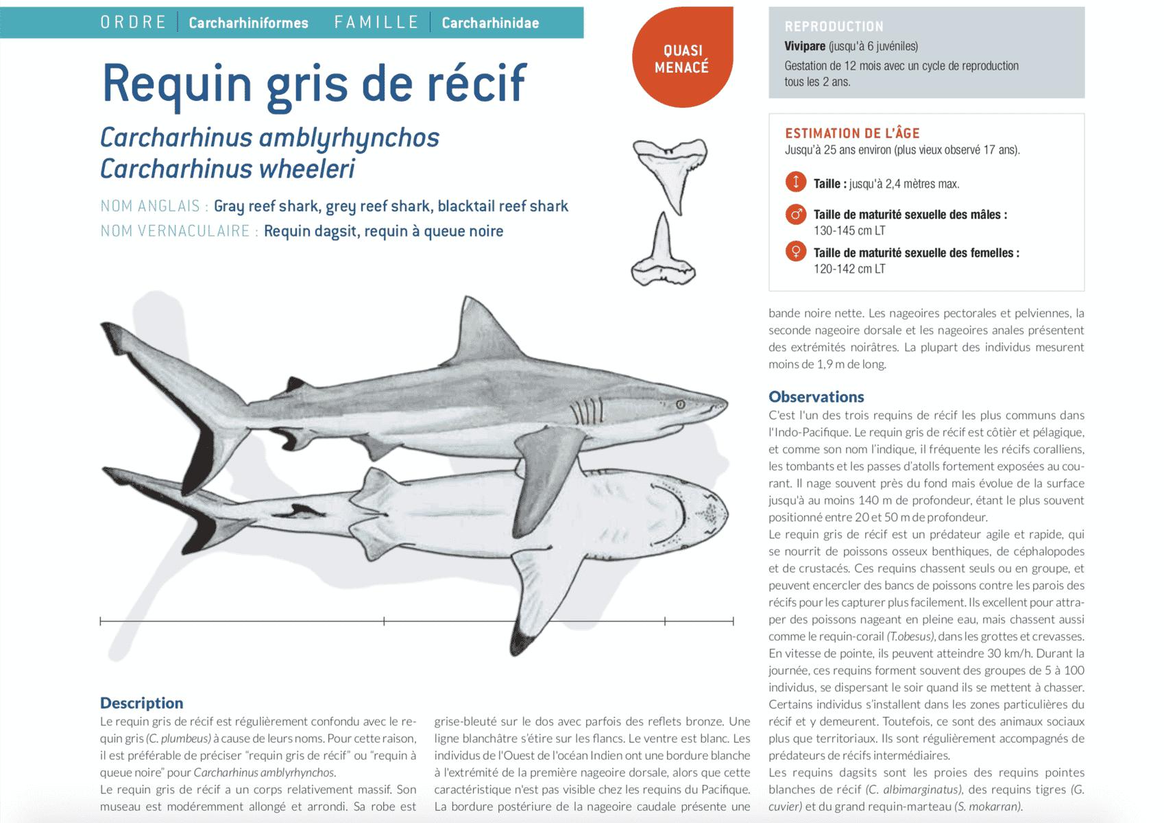 fiche requin gris grey shark
