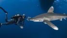 bio longimanus shark requin