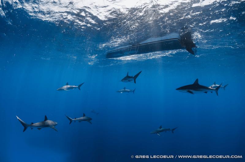 bateau banc requins plongée